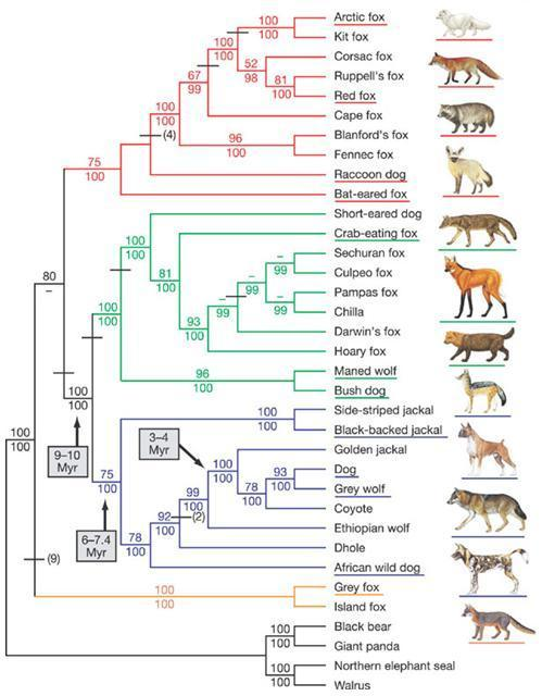 wolf dog evolution tree