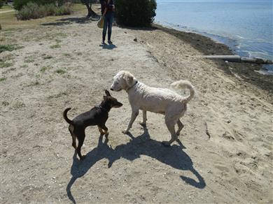 A kelpie tries to aggressively dominate a labradoodle