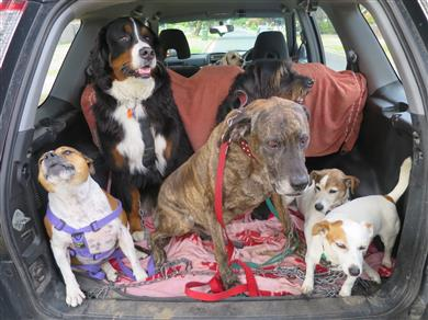 Social dogs in the back of my car