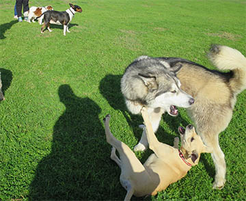 malamute playing