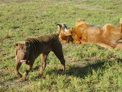 shar pei and golden retriever