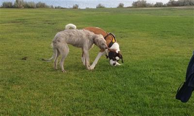 two large puppies playing - st bernard irish wolf hound