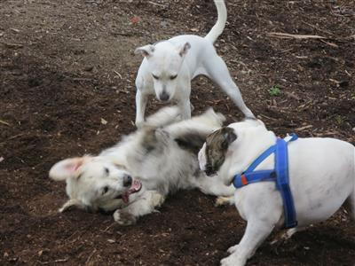 dogs playing hard in the park