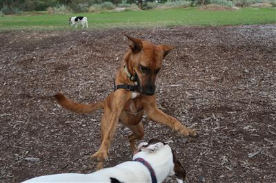 hard-fast-dogplay-dogwalks