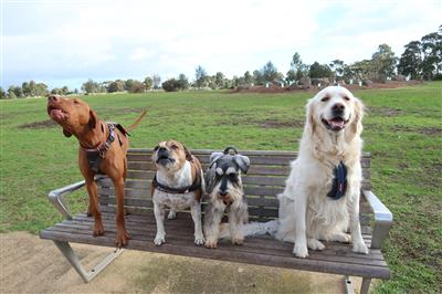 My pack dogs on our local bench Melbourne