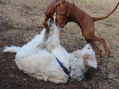 Atlas-Vizsla-and-Pippa-Golden retriever-playing