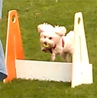 maltese dog flyball trials