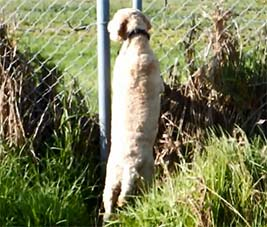 archie dog and the rabbit fence